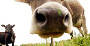 Cow_533